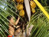 Baard Robert stjeler kokosnøtter.
